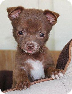 Chihuahua/Pomeranian Mix Puppy for adoption in La Habra Heights, California - Tiny Kitty