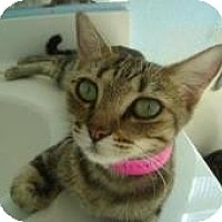 American Shorthair Kitten for adoption in Phoenix, Arizona - Razzle