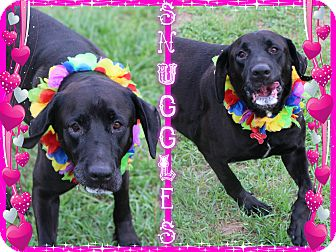 Labrador Retriever Dog for adoption in Tampa, Florida - Snuggles
