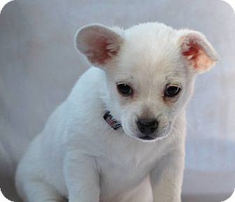Corgi Mix Puppy for adoption in Grass Valley, California - Whitney