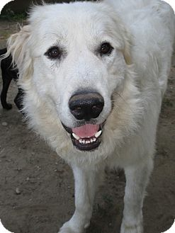 Great Pyrenees Dog for adoption in Croydon, New Hampshire - Chara - Adopted!