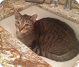 Domestic Shorthair Cat for adoption in Miami, Florida - Buddha