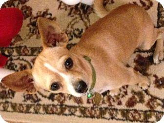 Chihuahua Mix Dog for adoption in Schertz, Texas - Boscoe MB