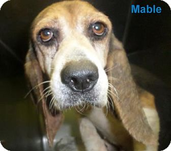 Beagle Mix Dog for adoption in Georgetown, South Carolina - Mable