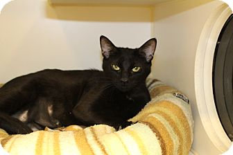 Domestic Shorthair Cat for adoption in Toronto, Ontario - Lexy