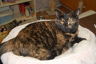 Domestic Shorthair Cat for adoption in Manning, South Carolina - Pippa