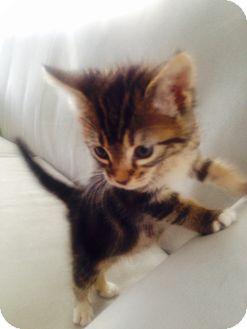 Domestic Shorthair Kitten for adoption in Los Angeles, California - Francesca