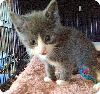 Domestic Shorthair Kitten for adoption in San Leandro, California - Patrick