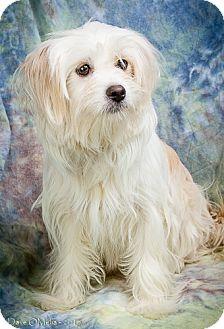 Maltese/Chihuahua Mix Dog for adoption in Anna, Illinois - SABRINA