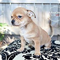 Adopt A Pet :: Lisa Simpson - Shawnee Mission, KS