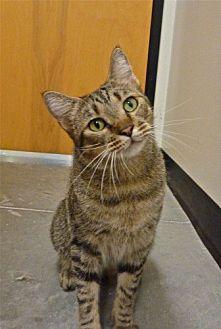 Domestic Mediumhair Cat for adoption in Capshaw, Alabama - Lucas