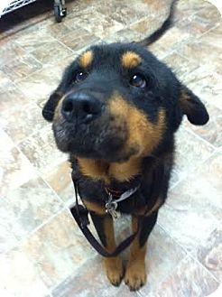 Rottweiler Mix Dog for adoption in Darlington, South Carolina - Bruce