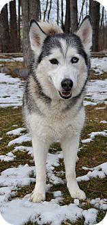 Husky Dog for adoption in Michigan City, Indiana - Sheba
