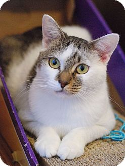 Domestic Shorthair Cat for adoption in Knoxville, Tennessee - Betsy