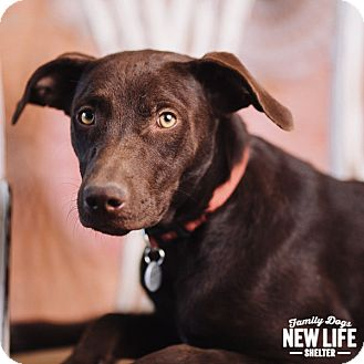 Labrador Retriever/German Shorthaired Pointer Mix Dog for adoption in Portland, Oregon - Louise