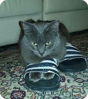 Russian Blue Cat for adoption in Miami, Florida - Lola