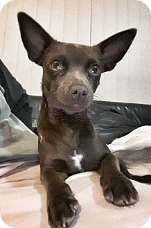 Chihuahua Mix Dog for adoption in Tijeras, New Mexico - JR