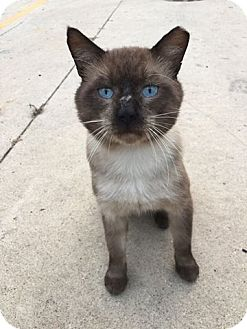 Siamese Cat for adoption in Chicago, Illinois - Hercules