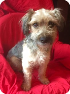 Yorkie, Yorkshire Terrier Mix Dog for adoption in Santa Monica, California - LUCY