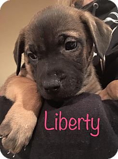 German Shepherd Dog Mix Puppy for adoption in Sugar Grove, Illinois - Liberty