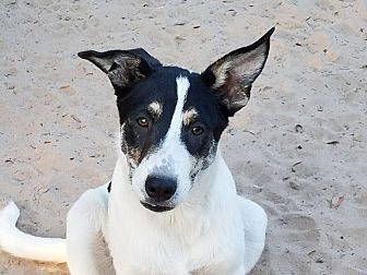 Labrador Retriever/Pointer Mix Puppy for adoption in Roanoke, Virginia - Paige