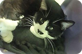 Domestic Shorthair Cat for adoption in Medina, Ohio - Groucho