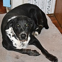 Labrador Retriever/Dalmatian Mix Dog for adoption in Melrose, Florida - Cleo