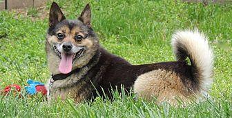 Shiba Inu Mix Dog for adoption in Joplin, Missouri - Coco