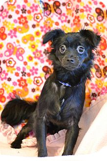 Chihuahua Mix Puppy for adoption in Hagerstown, Maryland - Viola