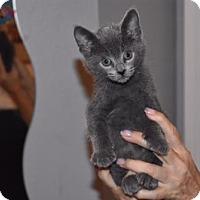 Adopt A Pet :: Will Feral 'Blue' 17-0142 - Richardson, TX