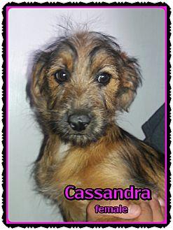 Dachshund/Terrier (Unknown Type, Small) Mix Puppy for adoption in Richmond, California - Cassandra