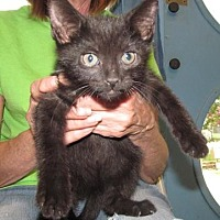 Domestic Shorthair/Domestic Shorthair Mix Cat for adoption in Inverness, Florida - LANE