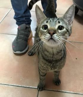 Domestic Shorthair/Domestic Shorthair Mix Cat for adoption in Miami, Florida - Fiona
