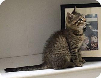 Domestic Shorthair Kitten for adoption in Fairfax, Virginia - Gemma