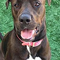 Great Dane/Labrador Retriever Mix Dog for adoption in San Diego, California - Chelsea
