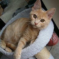 Adopt A Pet :: Tiger - Encinitas, CA