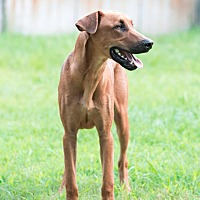 Adopt A Pet :: Dobie - Virginia Beach, VA