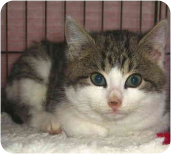 Domestic Shorthair Kitten for adoption in Colmar, Pennsylvania - Connie