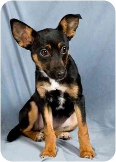 Rat Terrier Mix Puppy for adoption in Anna, Illinois - SIMONE