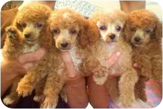 Poodle (Toy or Tea Cup) Puppy for adoption in Terre Haute, Indiana - Poodle Pups X4
