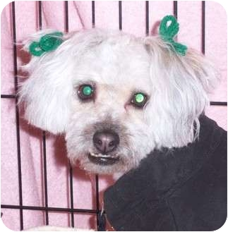 Poodle (Miniature)/Lhasa Apso Mix Dog for adoption in Berea, Ohio - Mopsy