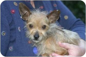 Yorkie, Yorkshire Terrier/Chihuahua Mix Dog for adoption in Orange, California - Thumbelina