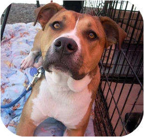 Boxer Mix Dog for adoption in Santa Fe, New Mexico - Sasha