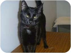 Domestic Shorthair Cat for adoption in Hamburg, New York - Chloe Ann
