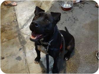 Labrador Retriever/Great Dane Mix Dog for adoption in Los Angeles, California - Bodhi