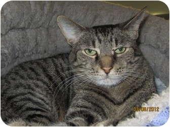 Domestic Shorthair Cat for adoption in Richfield, Ohio - Helmet