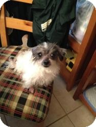 Chihuahua/Maltese Mix Dog for adoption in New Milford, Connecticut - Rosie