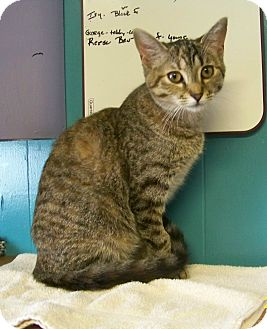Domestic Shorthair Cat for adoption in Dover, Ohio - Reese