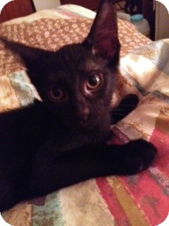 Domestic Shorthair Kitten for adoption in Chicago, Illinois - Grizzly