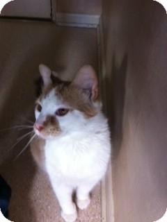 Domestic Shorthair Cat for adoption in Salem, Ohio - Otis